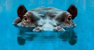 Sparks Hippopotamus